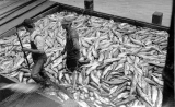 Scow load of salmon, probably Puget Sound, n.d.