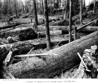 Cedar logs, Skagit County, Washington, 1910