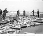 Fishermen on beach harvesting salmon catch, vicinity of the lower Columbia River, ca. 1900