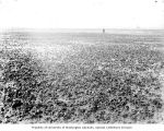Oyster beds in Willapa Bay, ca. 1900