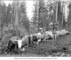 Women and children standing on logs being hauled by team of oxen, ca. 1903