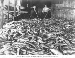 Salmon catch on the floor of an unidentified cannery, Puget Sound, ca. 1900