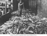Salmon catch on floor of cannery showing Chinese worker in background, ca. 1900