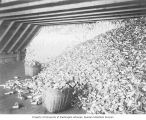 Salmon cannery interior showing empty cans ready for filling, Washington, ca. 1928