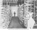 Unidentified man standing between rows of freezing halibut in a cold storage plant, Washington,...