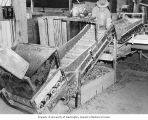 Farm worker running onion processing equipment, ca. 1940-1955