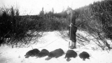 Beaver pelts, Tsimshian fur trader camp, British Columbia