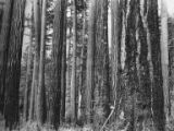 Forest, mainly fir trees, with axe leaning against a tree, Bloedel, Stewart & Welch logging...