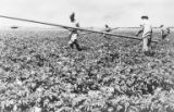 Men laying irrigation pipes in crop field, Israel, ca. 1957
