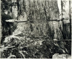 Photo of first chainsaw used by the Snoqualmie Falls Lumber Co. 1944