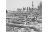 Logging crews clearing the parade ground at Fort Lawton, Washington, July 1, 1898