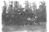 Logging crew clearing the grounds of the Fort Lawton cemetery, Washington,  May 21, 1900