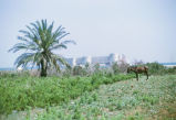 Horse and palm tree with Kiz Kalesi in the background