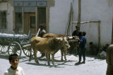 Team of oxen pulling a wagon