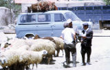 Men with sheep in front of a van