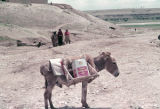 Donkey with a frame saddle to carry containers