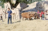 Threshing with a yoke of oxen