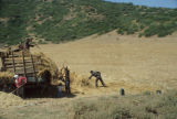 Men threshing chickpeas