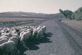 Herd of sheep in a road