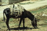 Donkey wearing wooden saddle