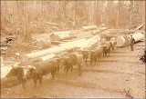 Yarding logs with oxen, Washington state, ca. 1892.