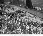 Field of Avalanche Lilies along road to Paradise Inn, July 14, 1928