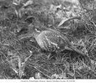 Grouse in brush near Lake Chelan, April 1914