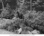 Bear with two cubs at Longmire Springs, Mount Rainier National Park, July 13, 1928