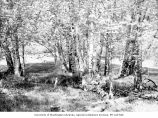 Alder trees at west end of Lake Crescent, Clallam County,  May, 1961
