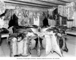 Taxidermy shop with table and walls covered with various pelts and furs, Stehekin, 1907