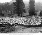 Sheep in counting corral, Horseshoe Basin, September 1920