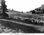 Sheep grazing, Horseshoe Basin, September 1920