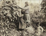 Puget Sound area woman and girls pick hops, White River Valley, Washington, 1902