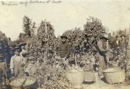 Indian men, women and children working in Kent hop field, ca. 1895