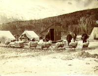 Team of Angora goats used to haul sled near Skagway, Alaska, spring 1898.