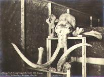 Skull and bones of a mammoth discovered at the bottom of a mining shaft, Hunter Creek, Yukon...