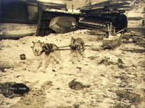 Two dogs, one part wolf, being trained for dogsled use, Dawson, Yukon Territory, ca. 1898.