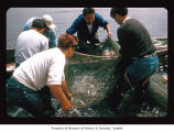Men with a fishing net carrying captured fish in a boat on the Quileute Indian Reservation