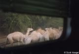 Egypt, group of camels, seen from window of southbound train
