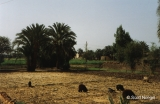 Sheep in a field in Luxor, Egypt