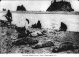 Native American man skinning a seal in La Push