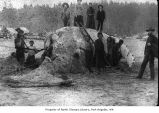 Cutting a whale, probably on a beach on the Quileute Reservation