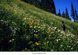 Subalpine meadow along Gladys Divide, Olympic National Park, date unknown