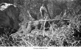 Felled tree in the woods with a man standing on the stump near the log cross section, possibly on...