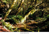 Hoh Rain Forest at Taft Creek, Olympic National Park, date unknown