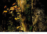 Vine maple tree trunk, probably in the Hoh Rain Forest during autumn, Olympic National Park, date...