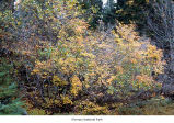 Vine maple shrubs, probably during autumn in Olympic National Park, date unknown