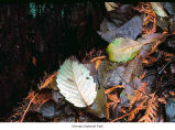 Tree leaves, probably during autumn in Olympic National Park, date unknown