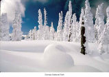 Hurricane Ridge after a snow, showing rimed trees, Olympic National Park, date unknown
