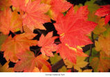 Vine maple leaves, probably during autumn in Olympic National Park, date unknown